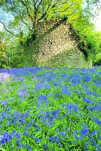 A carpet of bluebells around the Coney Tower.