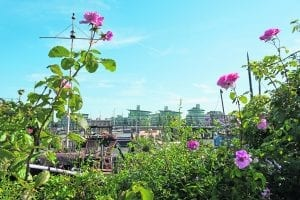 Roses flourishing at Garden Barge Square, near Tower Bridge. PHOTO: DIANA JARVIS