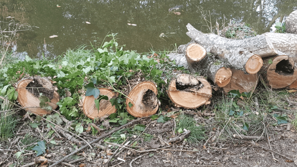 Felled logs showing signs of ash dieback lesions